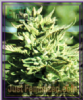 Emerald Triangle Lost Coast O.G. Feminised 5 Seeds